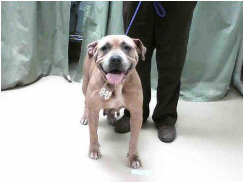 female apbt in houston city shelter - scheduled to be euthanized 8/23/09. photo by bettiepagestyled